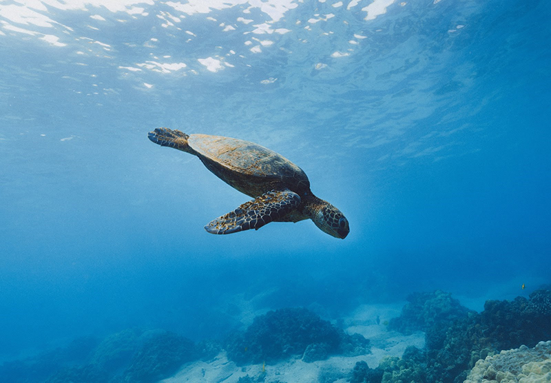 underwater view of a sea turtle