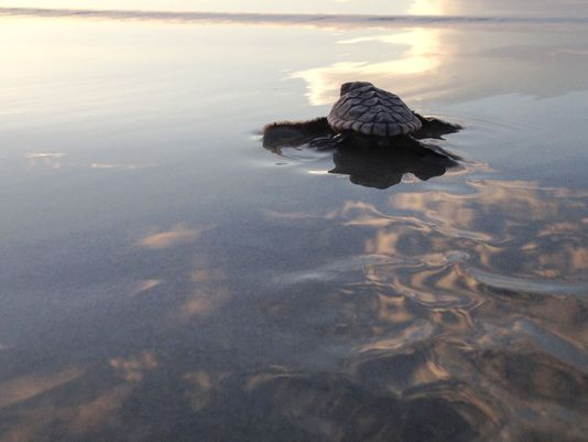 a sea turtle on the surface of the water