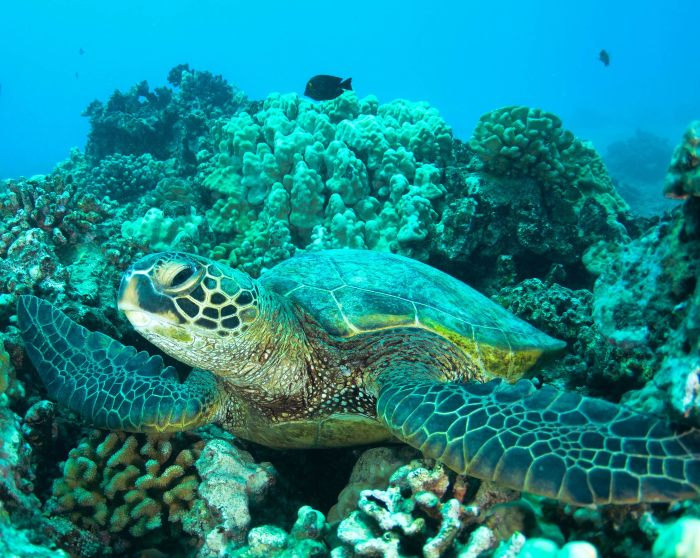 a sea turtle with coral and fish