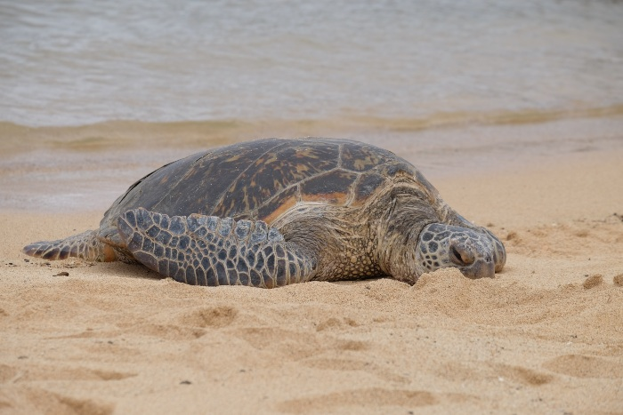 sea turtle laying in the sand on a beach