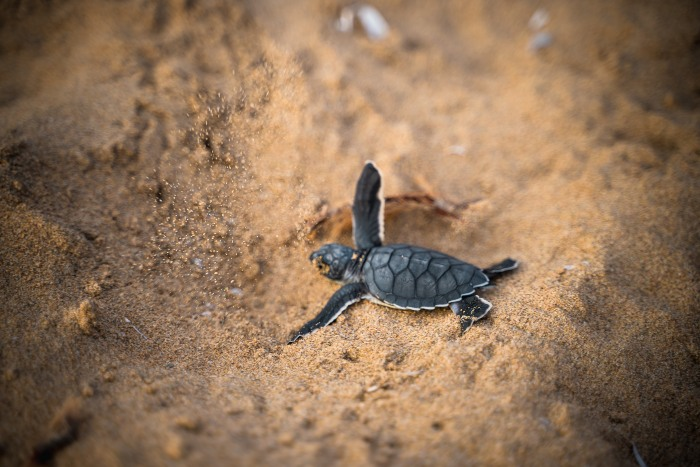a sea turtle hatchling in the sand
