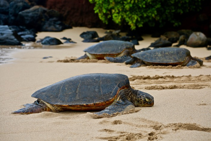 three sea turtles on the beach