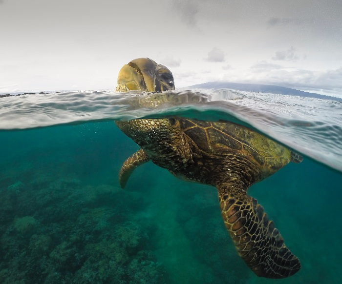 sea turtle sticking its head above water